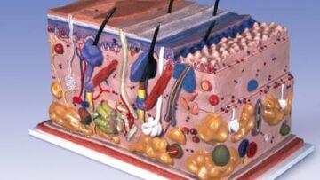 Какие вещества влияют на иммунитет кожи?
