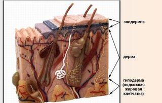Необходимая информация о слоях кожи для косметолога